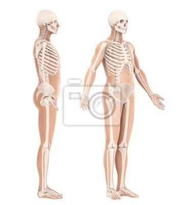 Menschliches skelett anatomie isoliert leinwandbilder • bilder ... 9da0c735d5d66