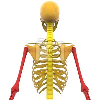 Menschliches skelett humerus, radius und ulna knochen leinwandbilder ...