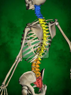 Menschliches skelett m-sk-pose bb-56-13, wirbelsäule, 3d-modell ...