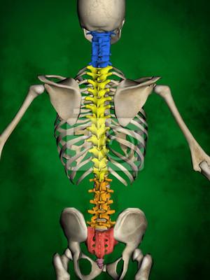 Menschliches skelett m-sk-pose bb-56-14, wirbelsäule, 3d-modell ...