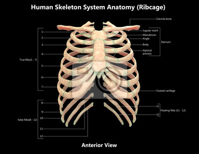 Menschliches skelett system brustkorb detaillierte anatomie (ansicht ...