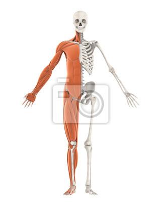 Menschliches skelett und muskel anatomie isoliert leinwandbilder ...