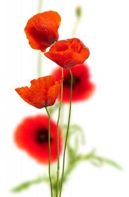 Bild Mohn auf weiß - rote Mohn, floralen Design