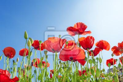 Bild Mohnblumen Blumen auf Sommer Feld