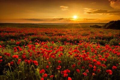 Bild Mohnfeld bei Sonnenuntergang