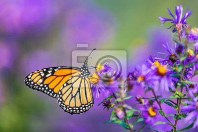 Bild Monarch butterfly feeding on purple aster flower in summer floral background. Monarch butterflies in autumn blooming asters.