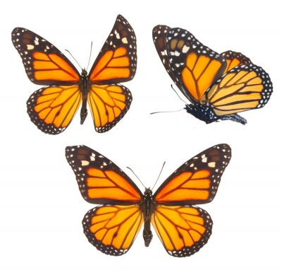 Bild Monarchfalter