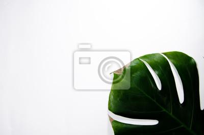 Bild Monstera Liana. Big green leaf on a white background. Macro. Plant