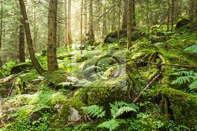 Bild Morgensonne bricht durch die Bäume eines üppigen Waldes mit Moos und Farnunterwuchs in den Bergen der Schweiz