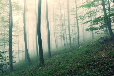 Morning foggy green beech trees forest landscape.