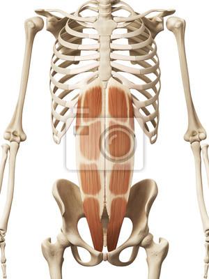 Muskelanatomie - der gerade bauch leinwandbilder • bilder Muskulatur ...