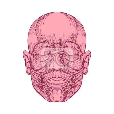 Muskeln von gesicht, menschlichen kopf anatomie, medizinische ...