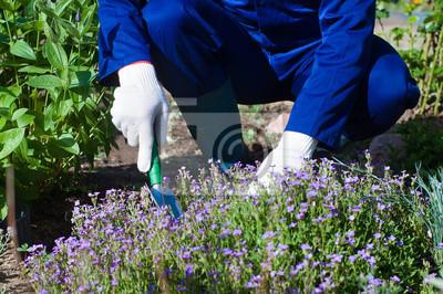 Nahaufnahme der Hände Bauern pflanzen einen Phlox pfriemenförmig