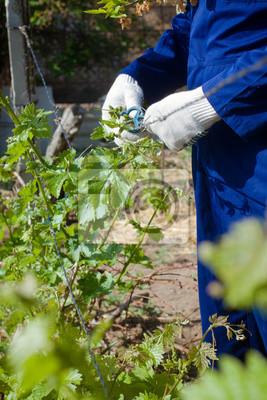 Nahaufnahme der Trauben Zweige binden
