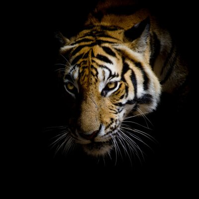 Bild Nahaufnahme Gesicht Tiger auf schwarzem Hintergrund isoliert