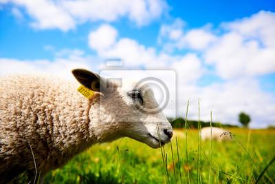 Nahaufnahme Seitenansicht Porträt eines Schafes