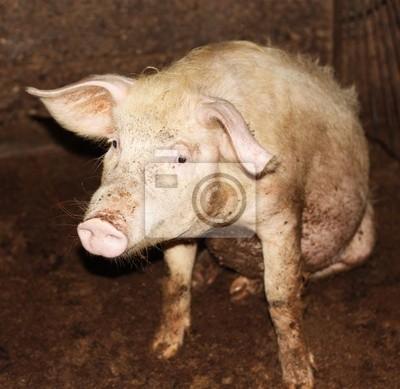 Bild Nahaufnahme von kleinen Schwein auf einem Bauernhof in China