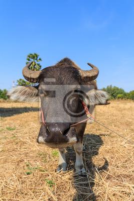 Nahaufnahme von Thai Büffel im Feld mit blauem Himmel