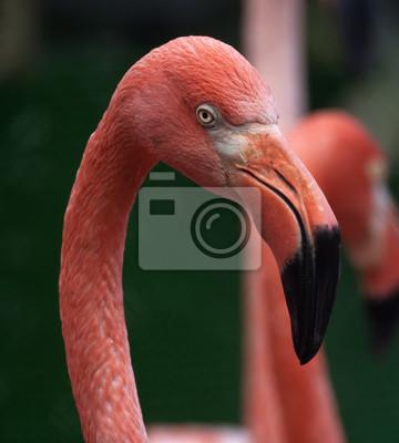 Kopf Der schönste rote Roter Uakari