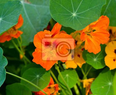 Nasturtium Pflanzen Im Garten Helle Blumen Im Sommer Schöne