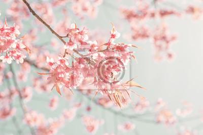 Bild Natur Hintergrund der schönen Kirsche rosa Blume im Frühjahr - Vintage-Pastell-Farbfilter