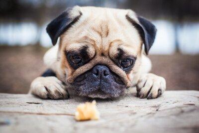 Bild Netter Mopswelpenhund