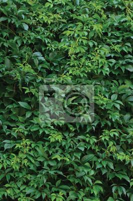 Bild New Virginia Creeper Blätter, Vertikal Frisches Nass Grüne Blattbeschaffenheit Summer Day Hintergrund-Muster große detaillierte Parthenocissus Quinquefolia Ivy Strukturierte Nahaufnahme Fünffinger Woo