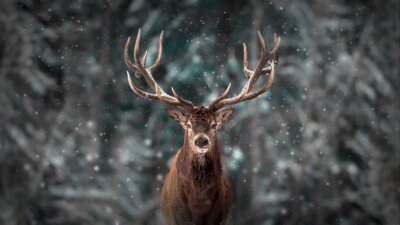Bild Noble deer male in winter snow forest. Artistic winter christmas landscape.