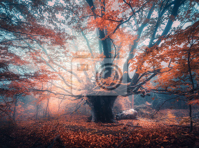 Old magical tree with big branches and orange leaves in blue fog in sunrise. Autumn colors. Enchanted foggy forest. Scenery with fairy forest in fall. Colorful landscape with beautiful misty old tree