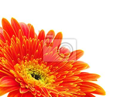 Bild orange Gerbera