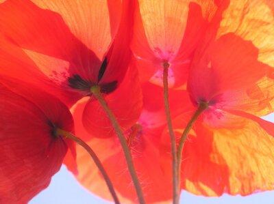 Bild Orange Mohn