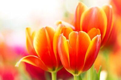 Bild Orange Tulpeblume der Nahaufnahme in der Natur