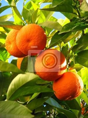 Bild Orangen auf einem Baum