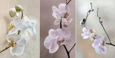 Bild Orchidea (storczyki) - Pastellfarben