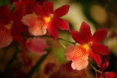 Bild Orchidee à fleurs rouge et jaune