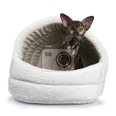 Orientalische shorthair Katze sitzt isoliert auf weißem Hintergrund in pluche Korb