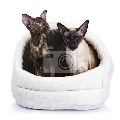 Orientalische shorthair Katze sitzt mit siamesischen Katze isoliert auf weißem Hintergrund in pluche Korb