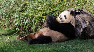 Bild Oso panda tumbado comiendo bambú