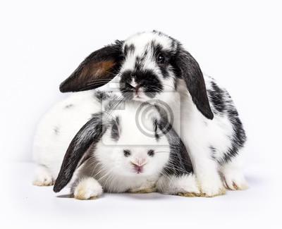 Paar von zwei schwarzen und weißen Baby Hasen