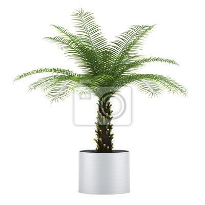Bild: Palme im topf auf weißem hintergrund