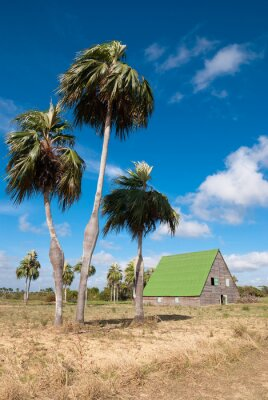 Palmiers endémiques de Cuba et grange gießen séchage du tabac