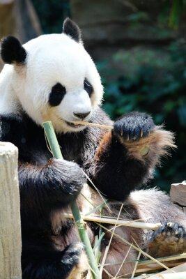 Bild Panda-Bär essen Bambus