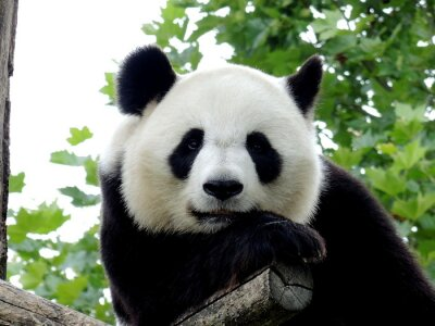 Bild Panda Géant 7
