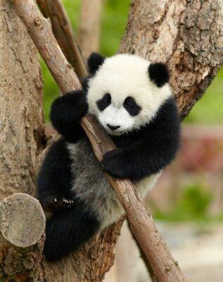 Bild Pandababy über den Baum