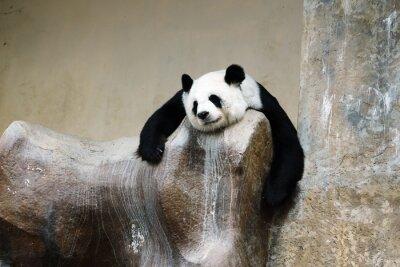 Bild Pandabären ruhenden