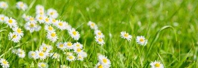 Bild panoramic meadow with daisies at springtime