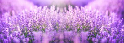Bild Panoramic purple lavender flowers blooming. Concept of beauty, aroma and aromatherapy