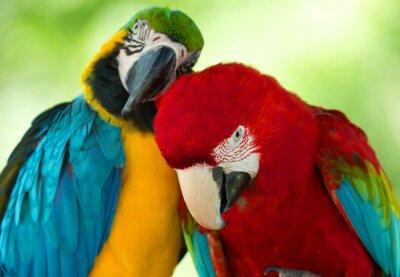 Bild Papageien