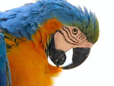 Bild parrot bird animal  head