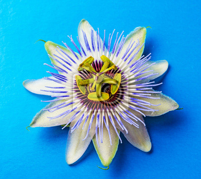 Bild Passion  flower - passiflora